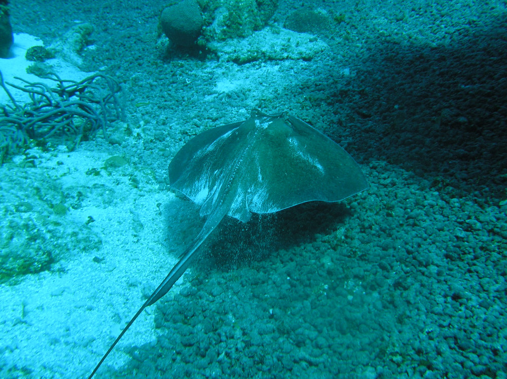 . A stingray moves along the ocean floor off the coast of Cozumel, Mexico, visible during a snorkeling excursion.  (Juan Miguel Sansores/Special to the Denver Post)