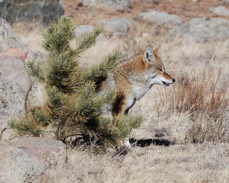 Coyote RMNP 122008 083.jpg