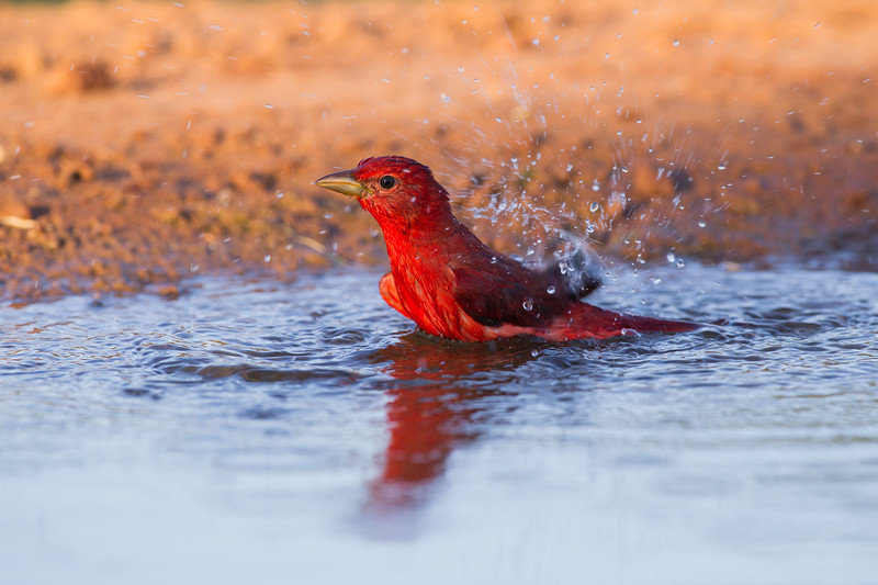 Summer Tanager - Laguna Seca Ranch, Edinburg, TX, USA