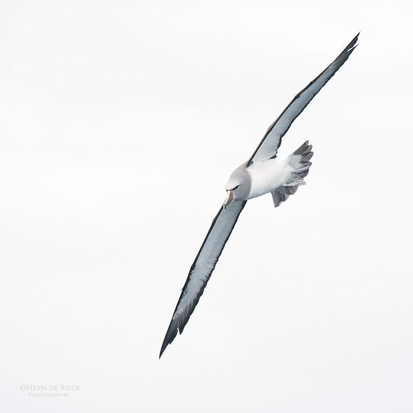 Salvin's Albatross, Eaglehawk Neck Pelagic, TAS, Sept 2016-1.jpg