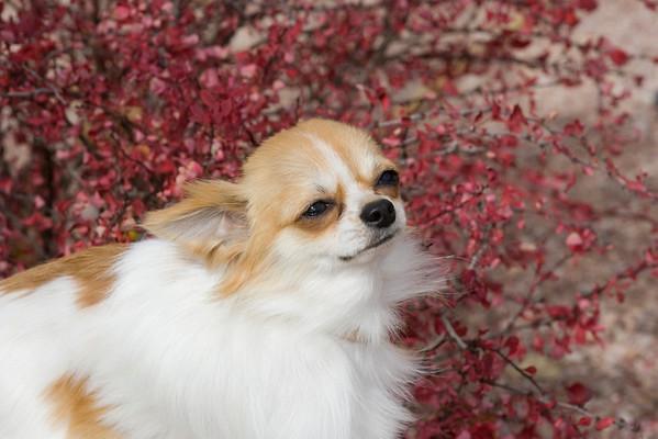 Chihuahua MS