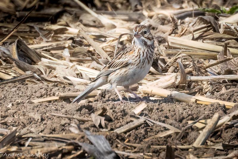 Vesper Sparrow , in Area 2 (Photo by Andrea Kingsley)