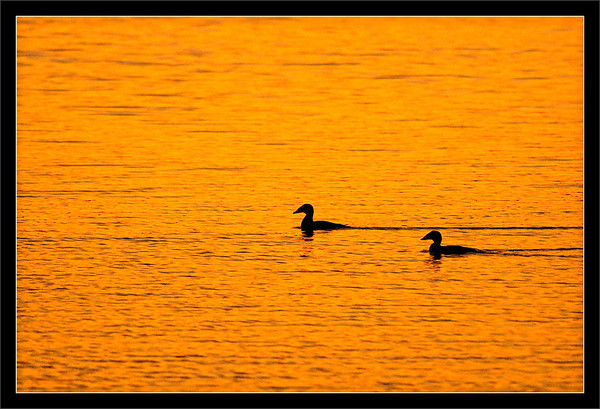 Surf Scoter Sunset  Two surf scoters paddle by as the sun sets across the lake.  Shoreline Park Mountain View, California  22-MAR-2010