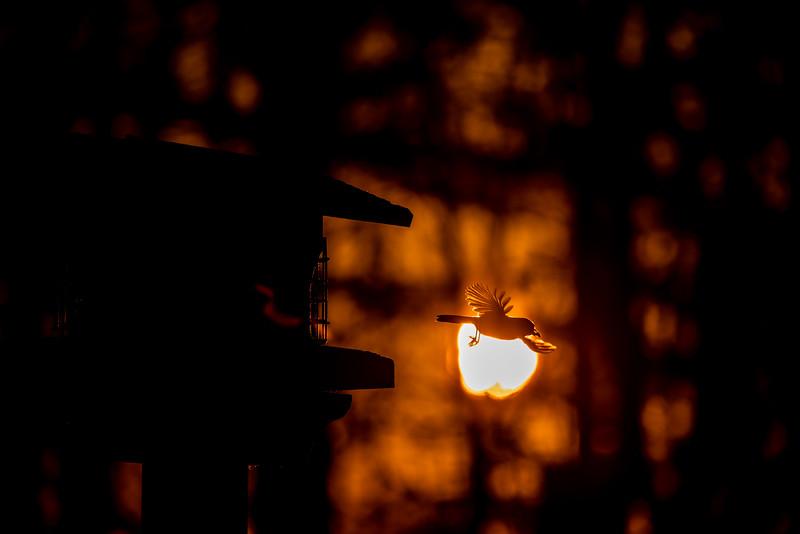 Black-capped Chickadee at feeder backlit backlighting Skogstjarna Carlton County MN  IMGC9201.jpg