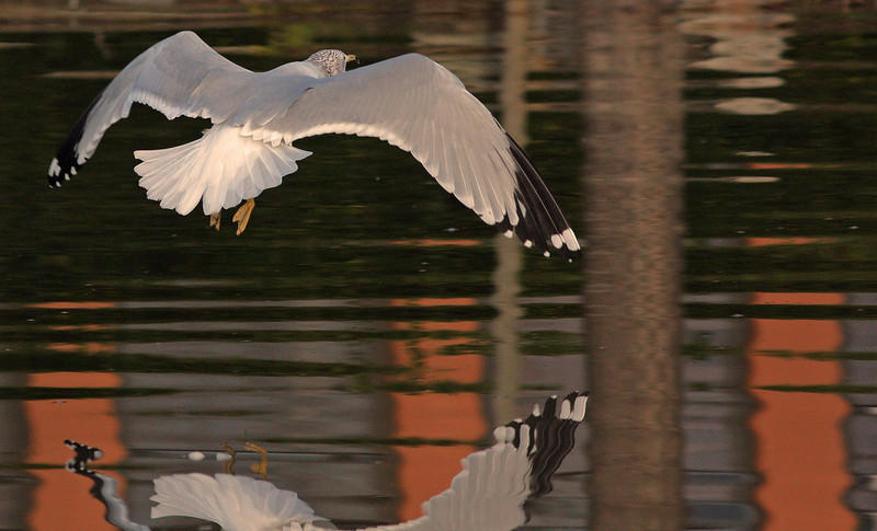 morning flight of the Ring-Billed Gull     (Contempo Lagoon)