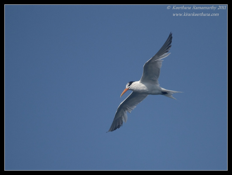 Elegant Tern, Mission Bay, Whale watching trip, San Diego County, California, July 2011