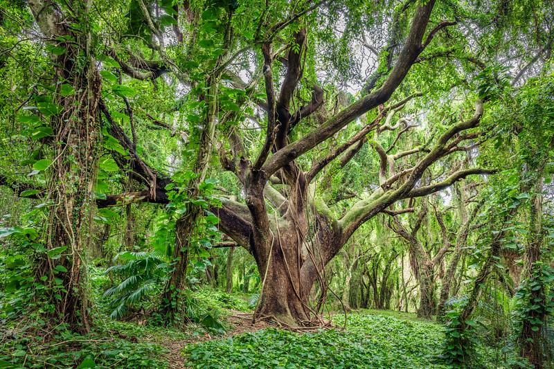 The Tree of Knowledge, Study 1, Maui, Hawaii