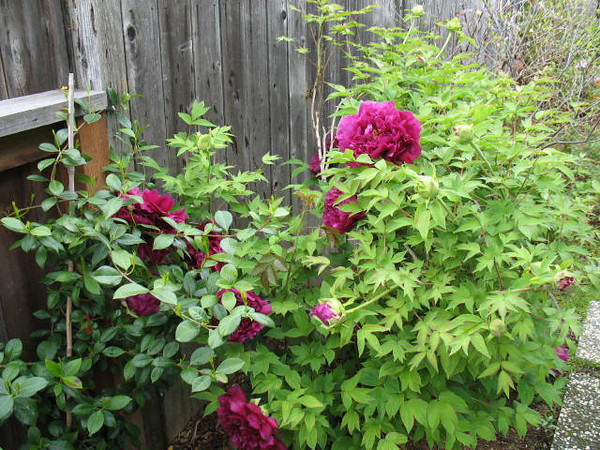 Our beautiful purple Peony. In this photo they look so magenta.
