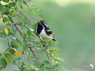 Spot-flanked Barbet