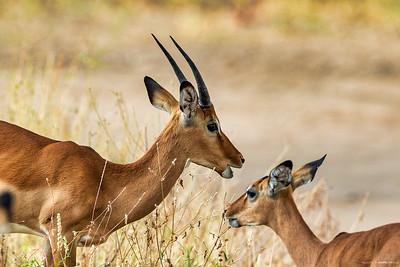 Impala (Impala)