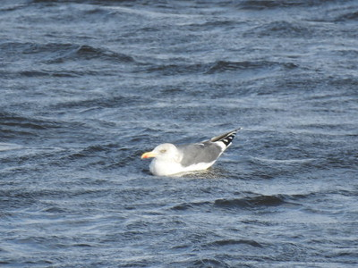 Gull, sp