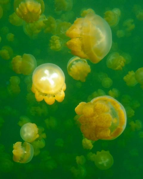 Jellyfish4.jpg