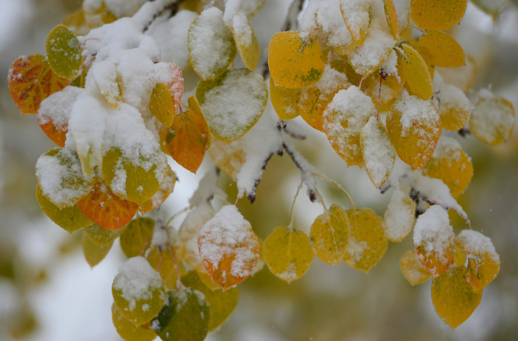 . GENESEE, CO - OCTOBER 04: A fall snow storm covers aspen leaves in snow near Geness, October 04, 2013. The mountain could see up to a foot of snow from this storm. (Photo By RJ Sangosti/The Denver Post)