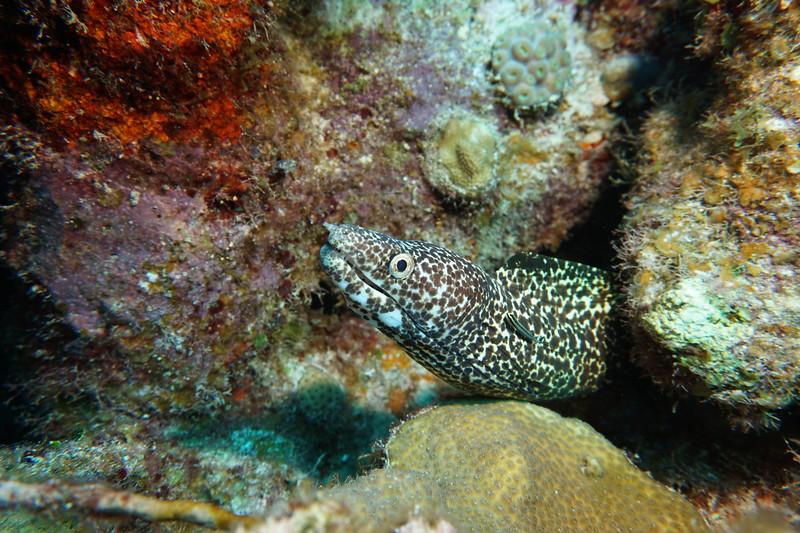 spotted eel GT18.JPG