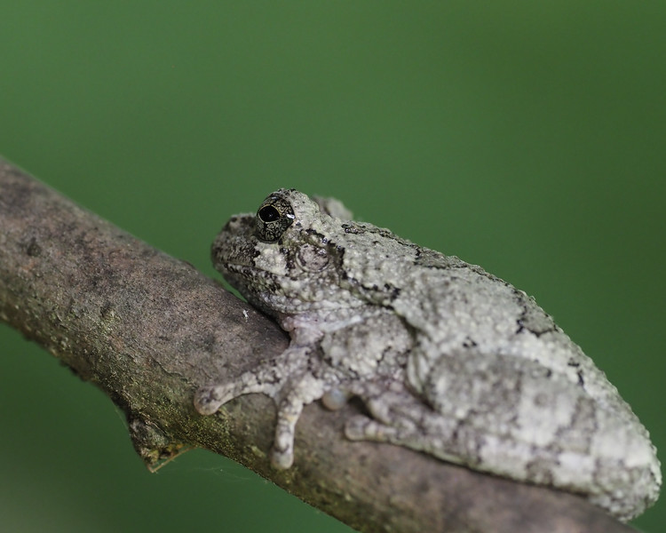 Cope's/Grey Tree Frog - didn't sing for us
