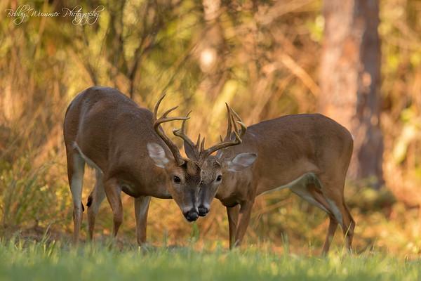 Florida Deer