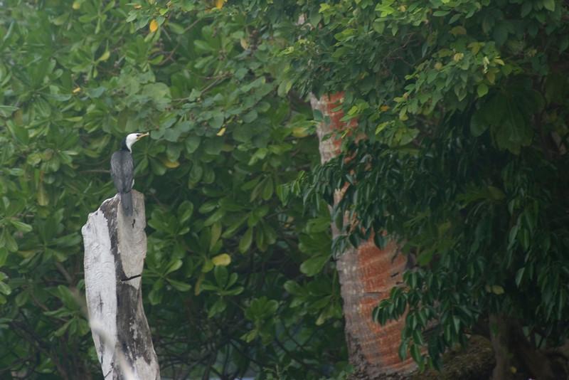 Bird on Log, Lake Te Nggano, Rennell Island - Solomon Islands