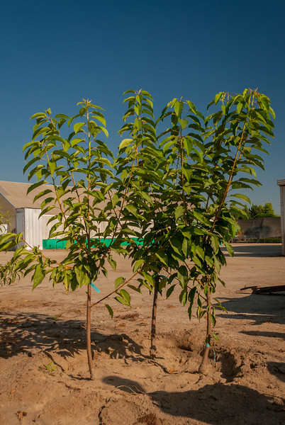 Photos showing the 3 in space of 1 tree planting. Three apple trees in this combination. Exactly 4 months after planting.