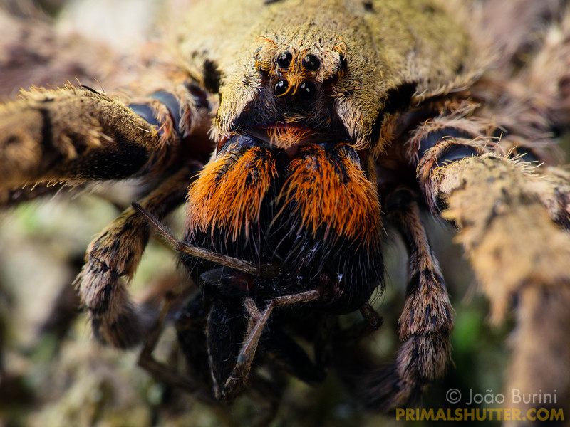 Wandering spider with red fangs preying on a smaller spider