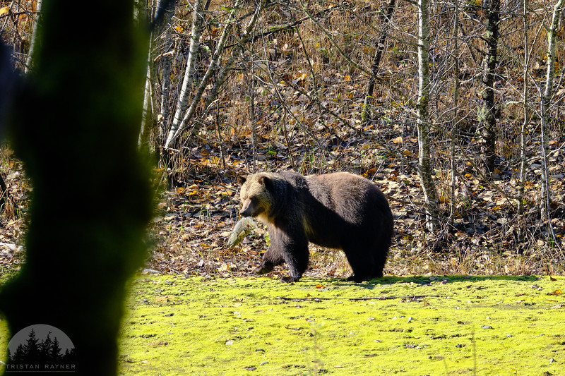 Grizzly Bear DSCF6951.jpg