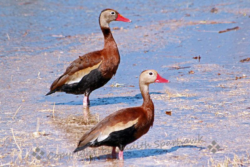 Black-bellied Whistling Ducks ~ On the drive from Madera Canyon to Patagonia, Arizona, I stopped at these ponds at Rio Rico, and was happy to find several of these Whistling Ducks wading, swimming and feeding.
