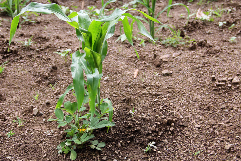 maize intercropped with leguminous beans at the base. legumes fix nitrogen in the soil, which acts as natural fertilizer