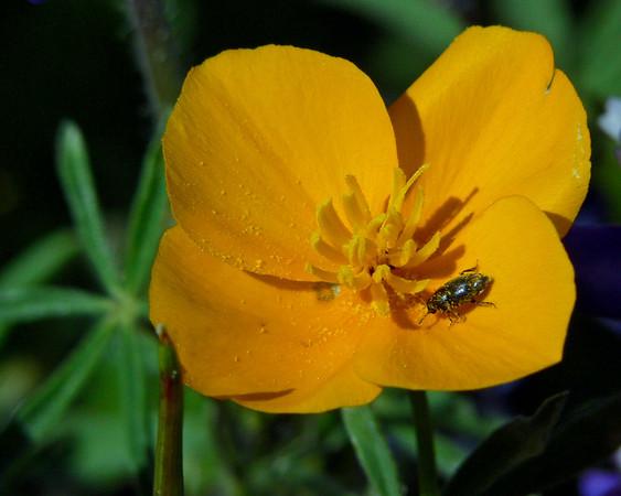 Table Mt. Wildflowers 2005