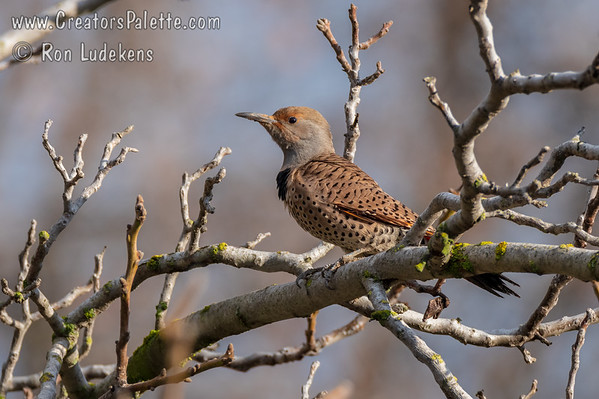 Northern Flicker (Red-shafted) (Colaptes auratus)