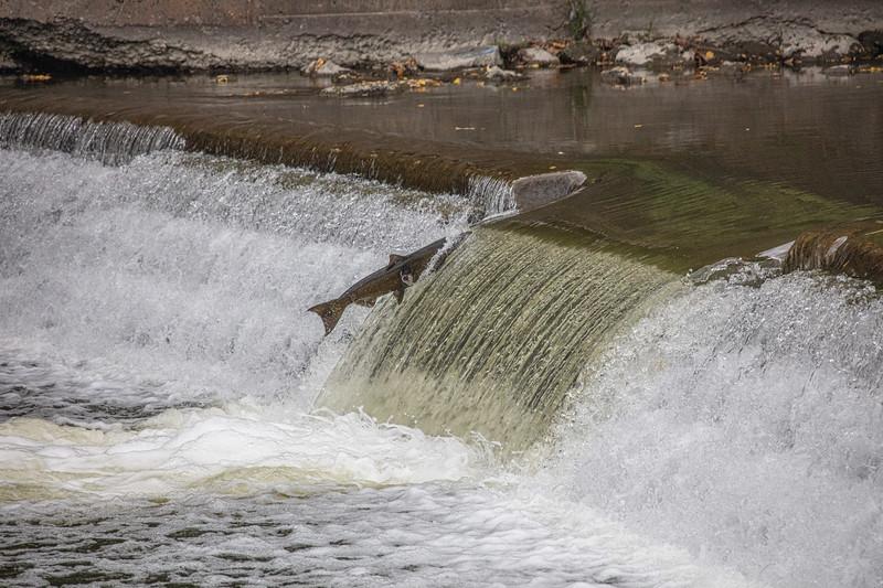 salmon upstream (11 of 48).jpg