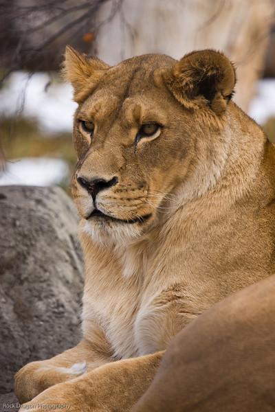 African Lion, Calgary Zoo, Nov. 30