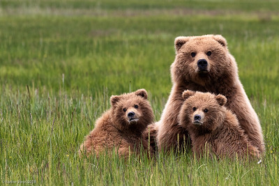 Coastal Brown Bears in Lake Clark in Alaska