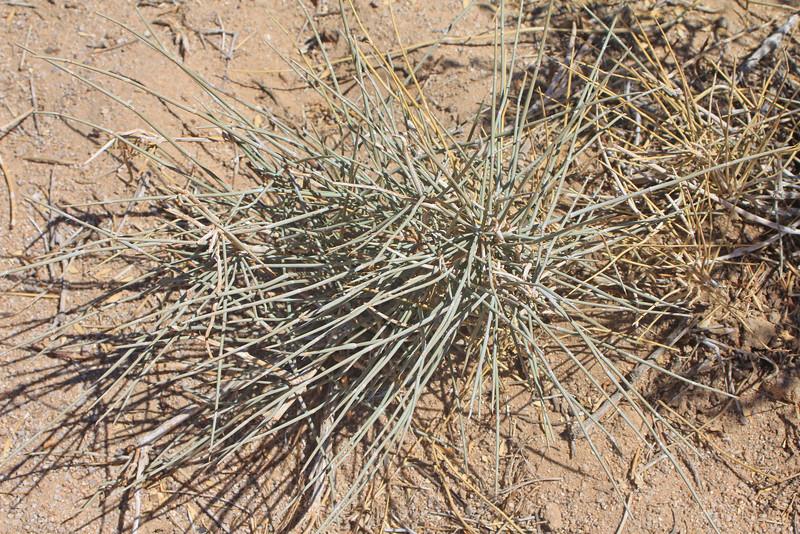 8/18/11 Green Ephedra (Ephedra viridis). Alabama Hills, Lone Pine Region, Eastern Sierras, Inyo County, CA