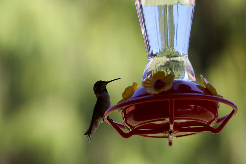 humming bird (10 of 55).jpg