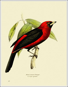 Bird Prints from Mexico and South America 1886