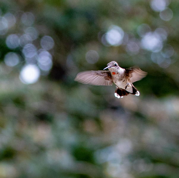 Ruby-throated Hummingbird - immature male