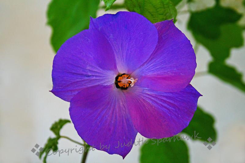 Violet Blue.jpg