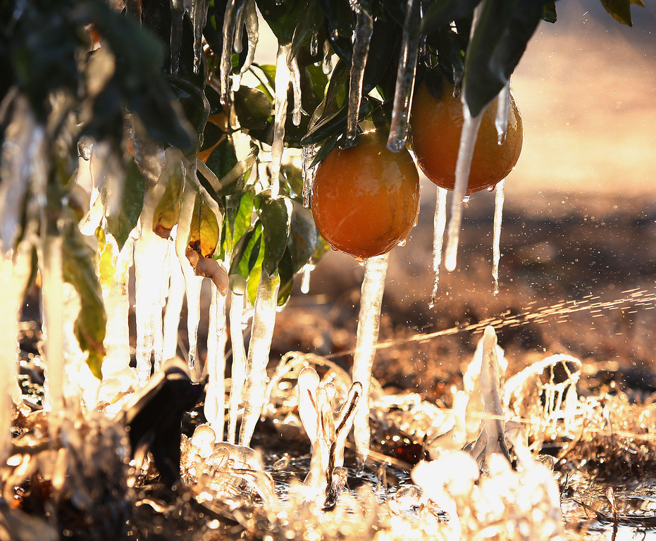 . Frozen oranges are shown with misters running to avoid as much damage as possible during a cold snap that is affecting the San Joaquin Valley citrus crop Friday, Dec. 6, 2013 in Traver, Calif.  Growers across California have toiled this week to protect the state\'s prized $2 billion a year citrus industry and other key crops such as lettuce and avocados from the cold snap that engulfed the state, dropping temperatures to levels that can damage fruit and delay the harvest of greens. (AP Photo/Gary Kazanjian)