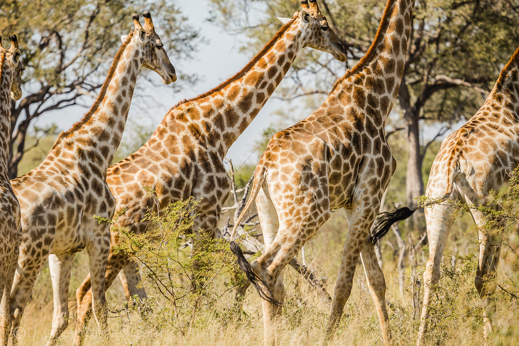 African Safari Animals - Giraffe group - Lina Stock