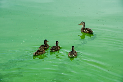 Stockbridge Harbor Toxic Blue-Green Algae – August 2019