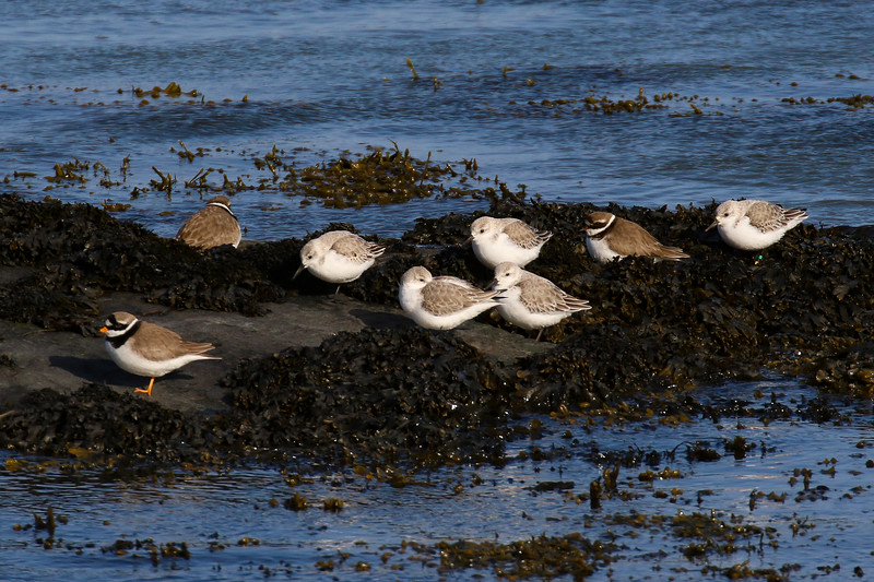 Sanderling with Ringed Plover