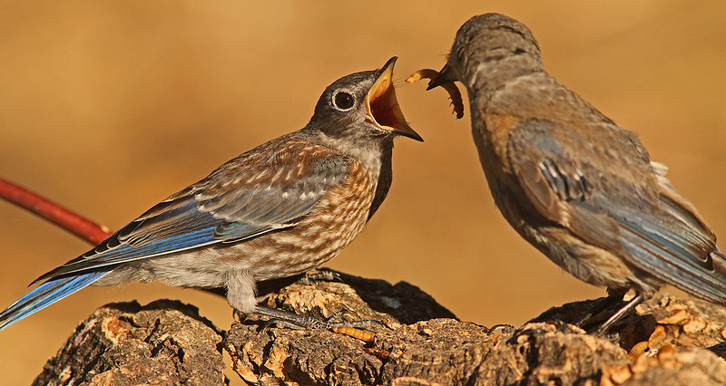 bluebirdsiblingfeedingsiblingA1600.jpg