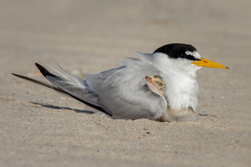 Least Tern Chick with Mom