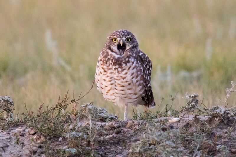 Burrowing Owl Grasslands-8.jpg