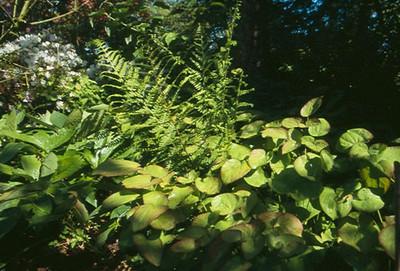 Epimedium perralderianum blad