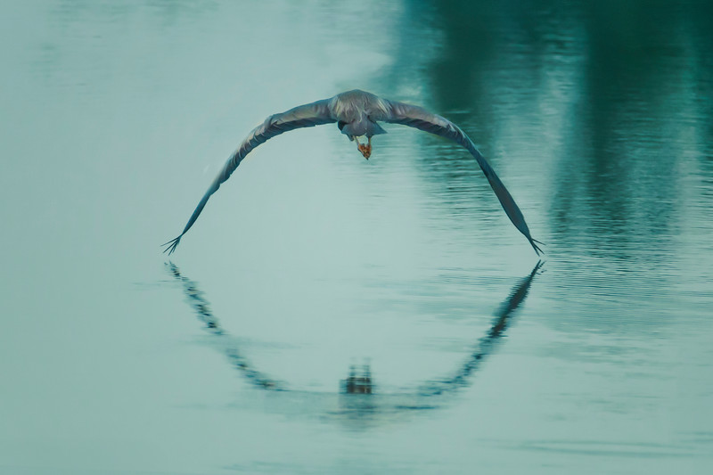 6.4.19 - Beaver Lake: Great Blue Heron