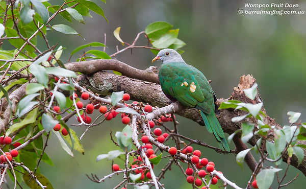 Wompoo Fruit Dove Ptilinopus magnificus