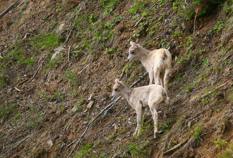 Two bighorn sheep lambs make traversing this hillside look easy