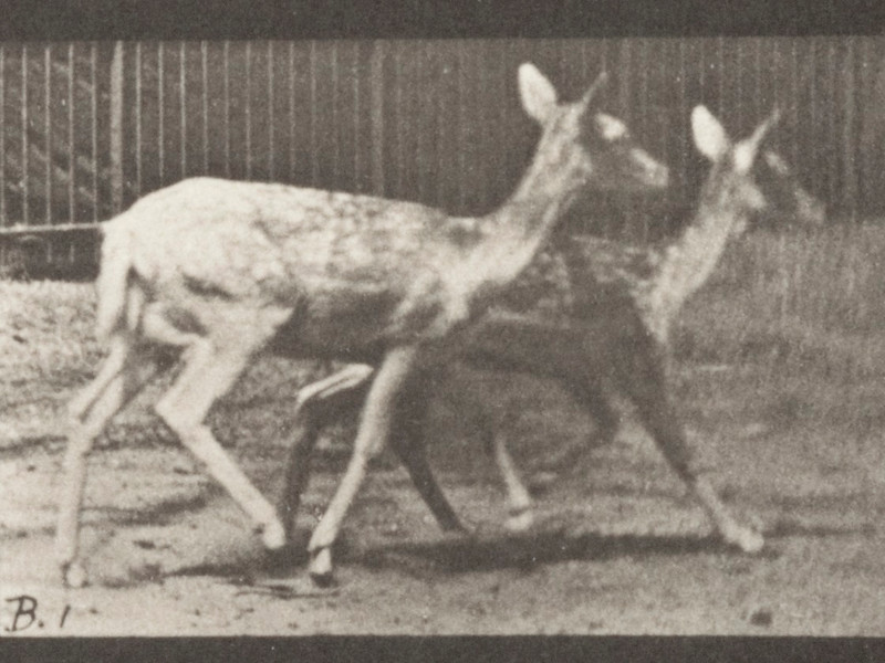 Fallow deer, two does trotting