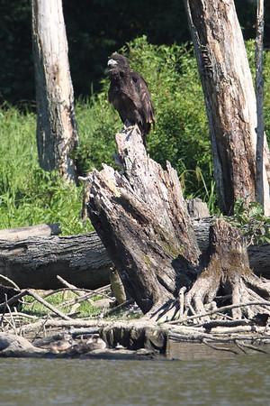 Huntingburg Eagle Nest - June 26