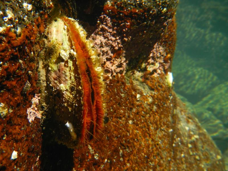 Rock Scallop (Crassedoma gigantea)